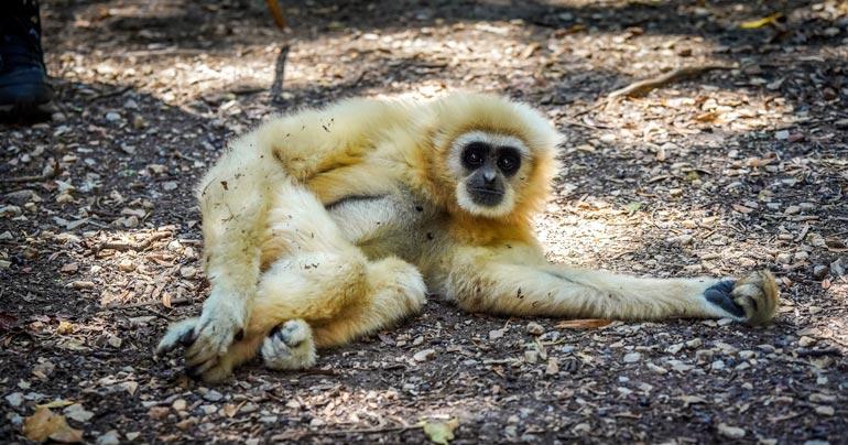 gibbon lying on the ground