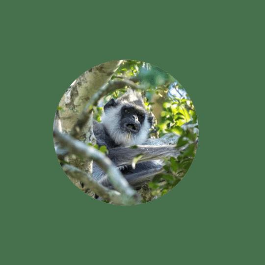 Monkeyland Plettenberg Bay Hanuman Langur