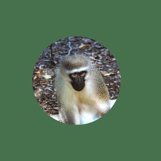 Monkeyland Plettenberg Bay Vervet Monkey