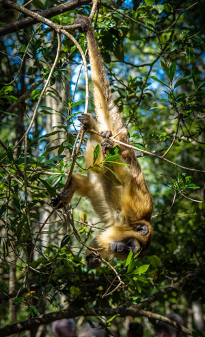 Howler monkey hanging upside down by its tail at Monkeyland