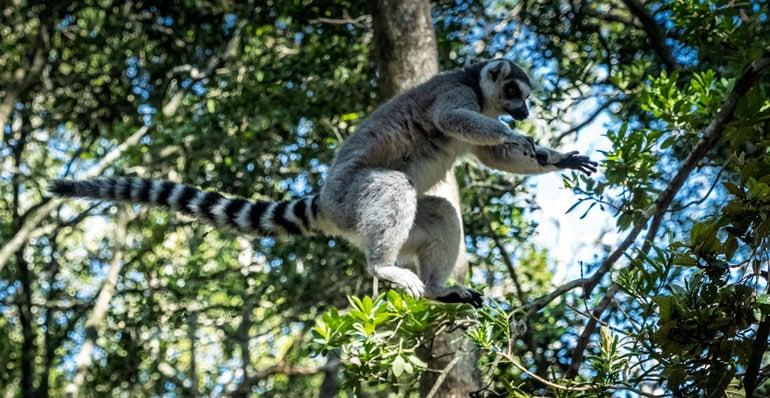 Lemur jumping through the trees