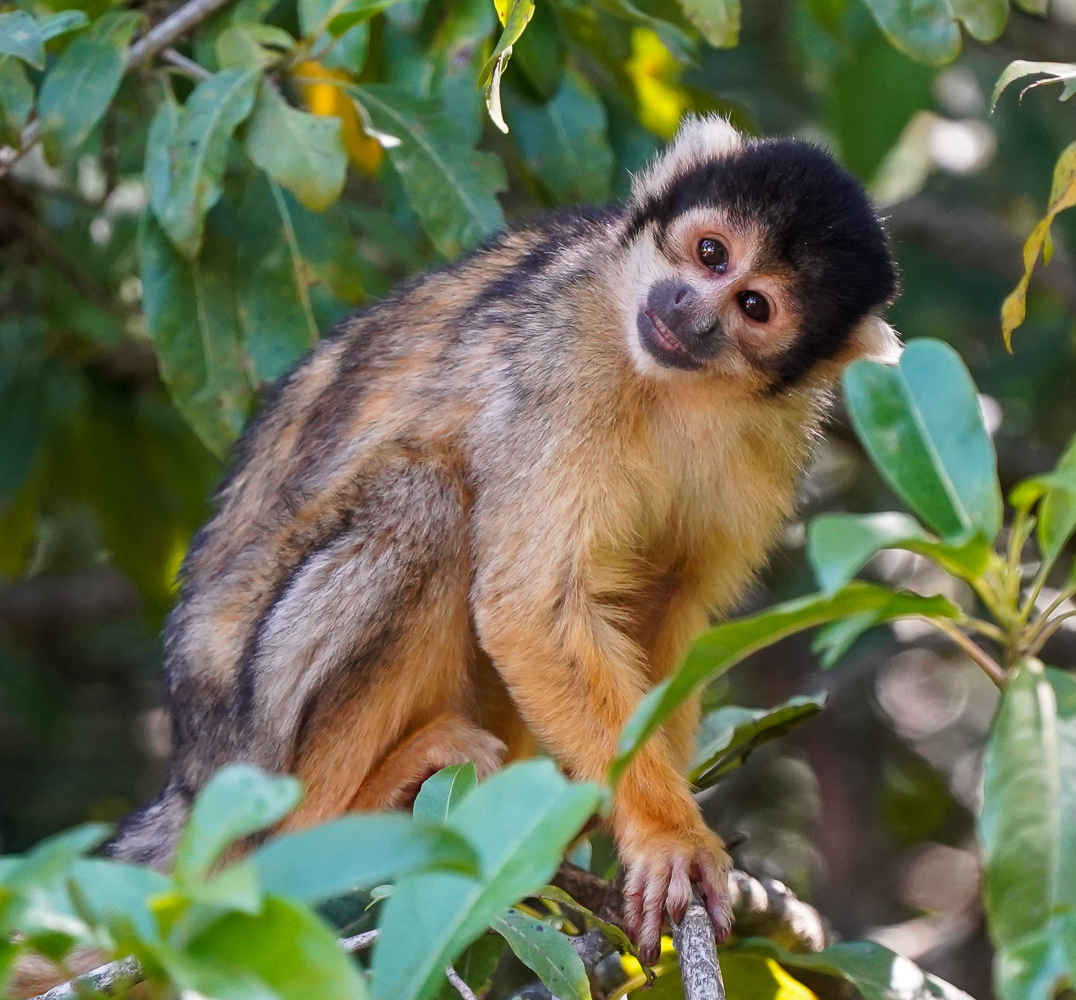 Squirrel Monkey with a half smile on its face