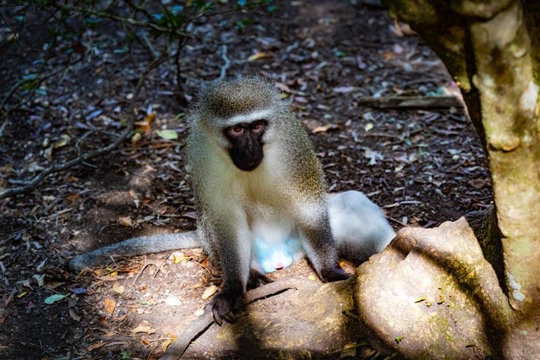 Vervet Monkey at Monkeyland Plettenberg Bay
