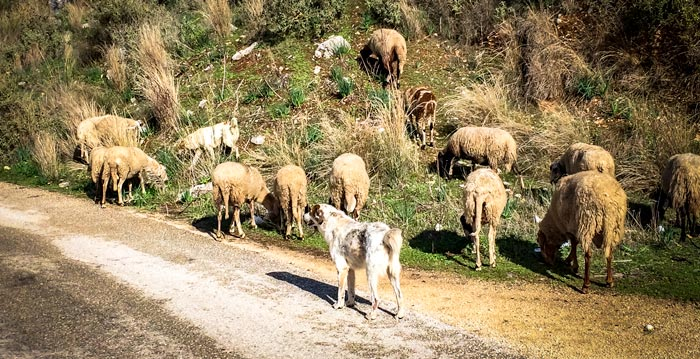 Dog protecting sheep in Greece