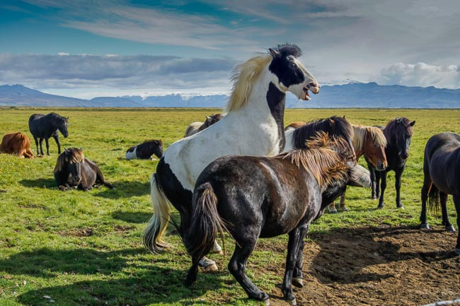 rearing Icelandic horses