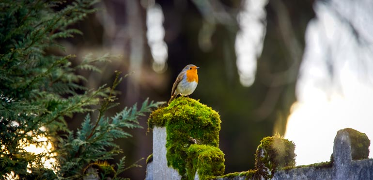 robin in the forest in Villars
