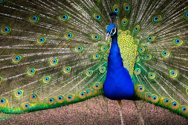 Peacock at Marqueyssac Gardens
