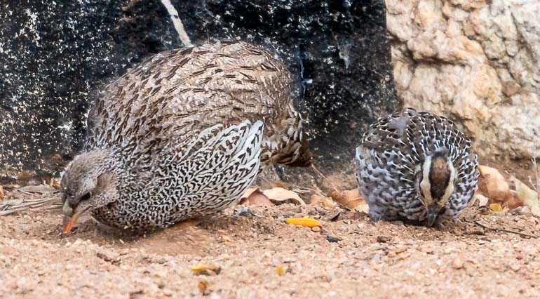 Francolin and baby