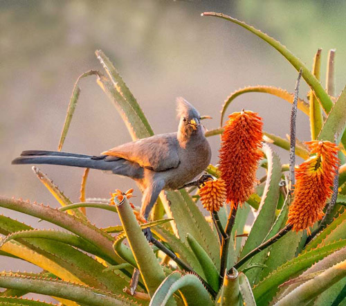 Grey Go-Away Bird in the Aloe Bushes