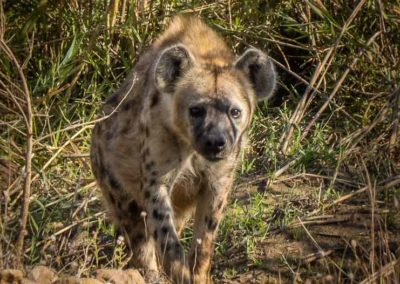 Hyena-at-river gallery
