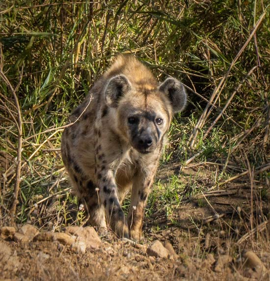 Hyena walking in the reeds near the river