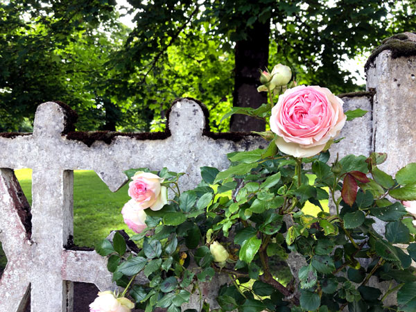 pink roses on a fence in Villars