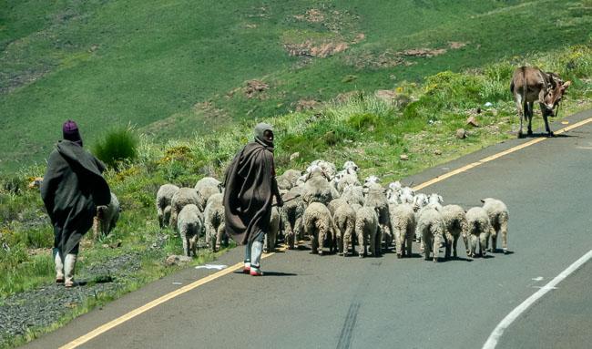 Shepherd with gumboots