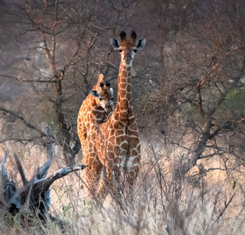 Baby giraffe with another giraffe looking over its shoulder
