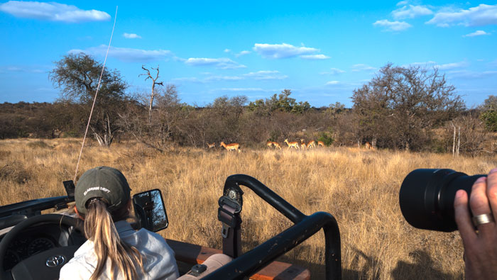 Impala on the game drive