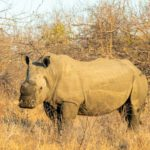 Rhino DeHorning in South Africa – The Path to Survival