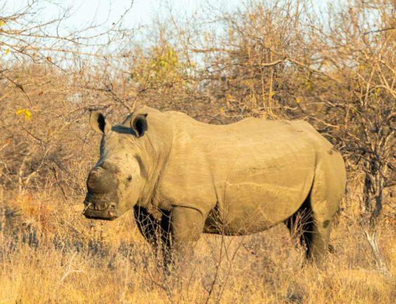 Rhino dehorning in south africa