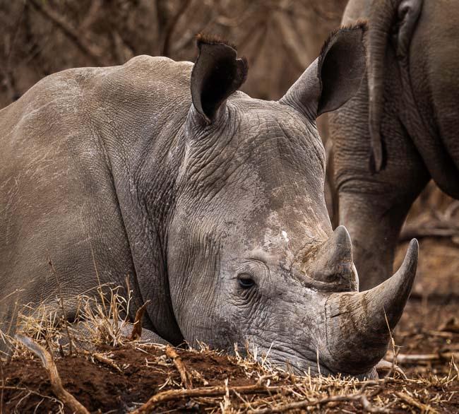 White rhino lying on the ground