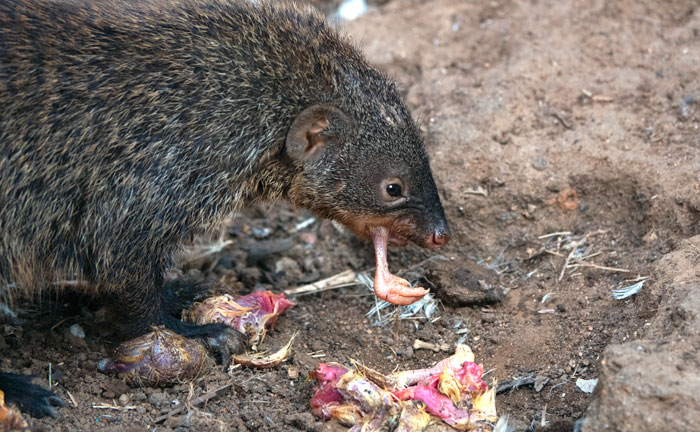 mongoose eating dead chicks
