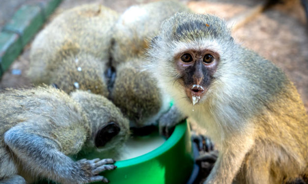 Volunteering with Monkeys in South Africa: How-to Guide
