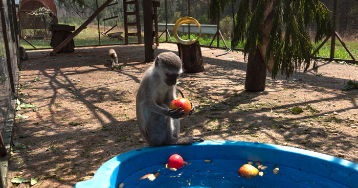 enrichment-for-monkeys - paddling pool and floating toys