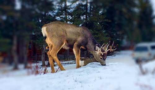 Deer-in-Banff-Street-CHRISTMAS-IN-BANFF-NATIONAL-PARK-CANADA-2