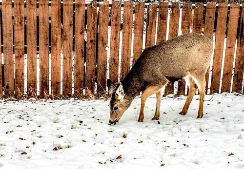 Deer-in-Banff-town
