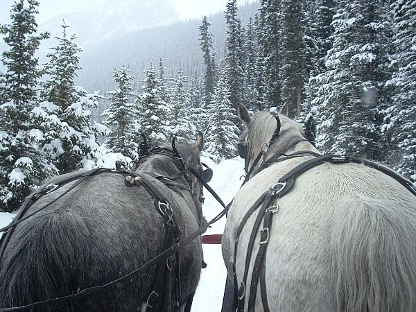 Horses attached to sleigh at lake Louise