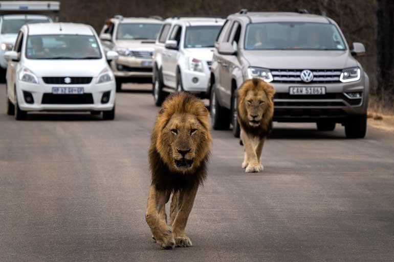 2-Lions-on-Kruger-road-
