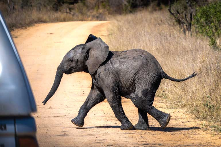 W-BAby-Elephant-on-road-in-Kruger