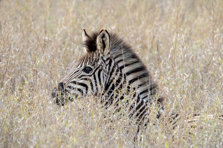 baby zebra sat in the grass