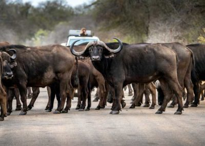 Herd of buffalo-on-Kruger-Road
