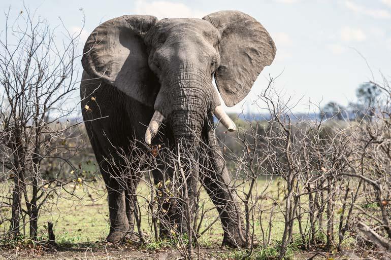 W-Elephant-close-up-full-length