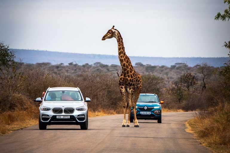 Giraffe-on-road-in-Kruger-