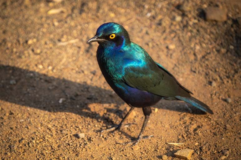 W-Greater-blue-eared-starling-in-Kruger