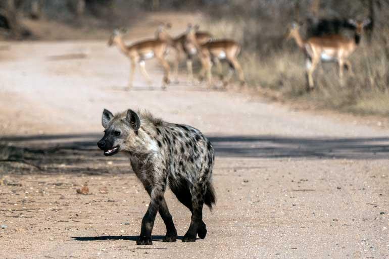 Hyena-on-Kruger-road