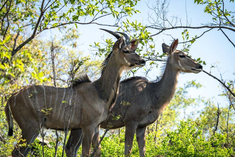 two kudu in northern Kruger