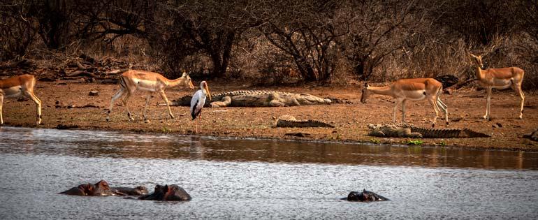 Sunset Dam with hippos, impala, crocodiles