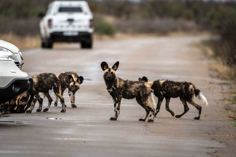 W-Wild-dogs-on-road-in-Kruger