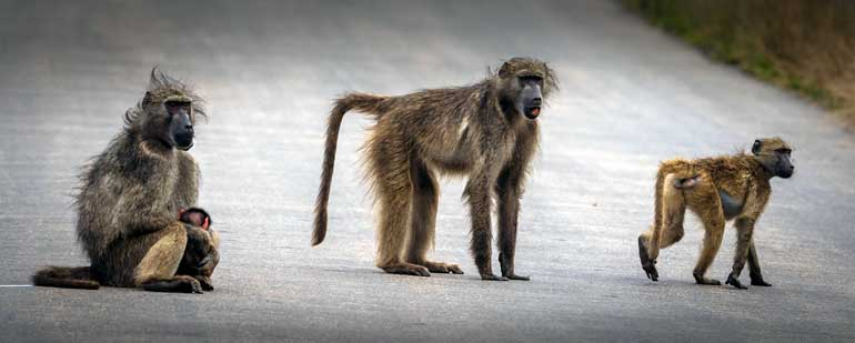 chacma baboons on kruger road