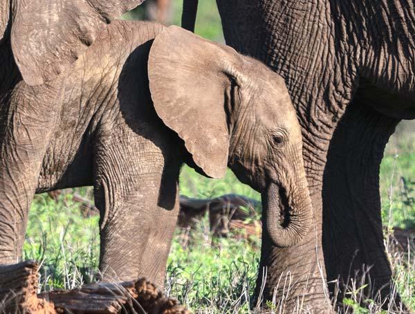 Baby-elephant-sucking-trunk