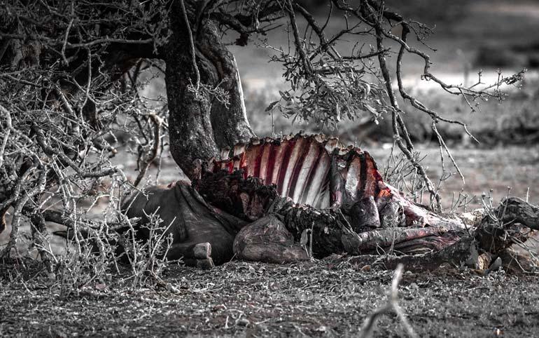 W-Buffalo-Carcass