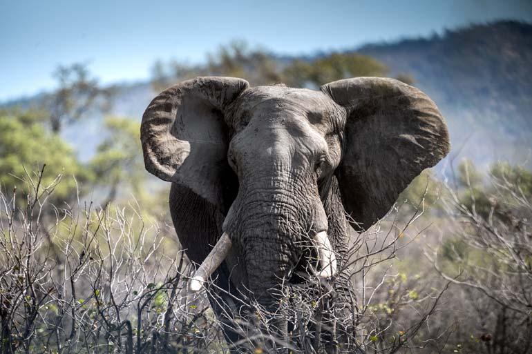 Close-up-of-elephant in Kruger National Park