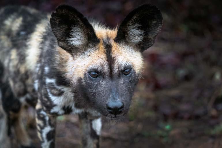 Close-up-of-wild-dog in Kruger National Park