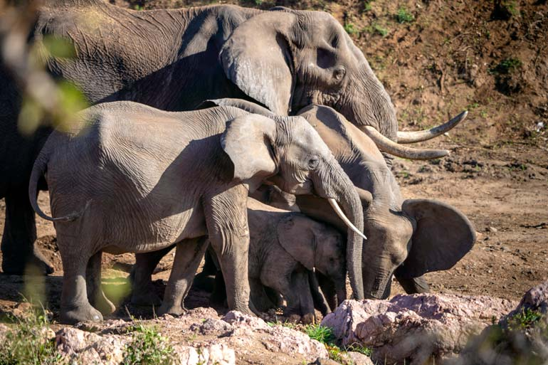 Family-of-elephants-getting-water-in-sand