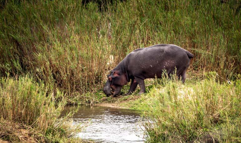 Hippo in the grass