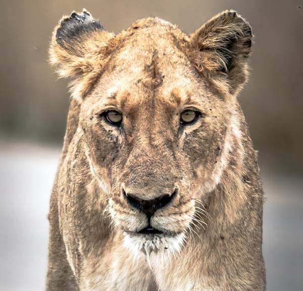 close up of a lioness face