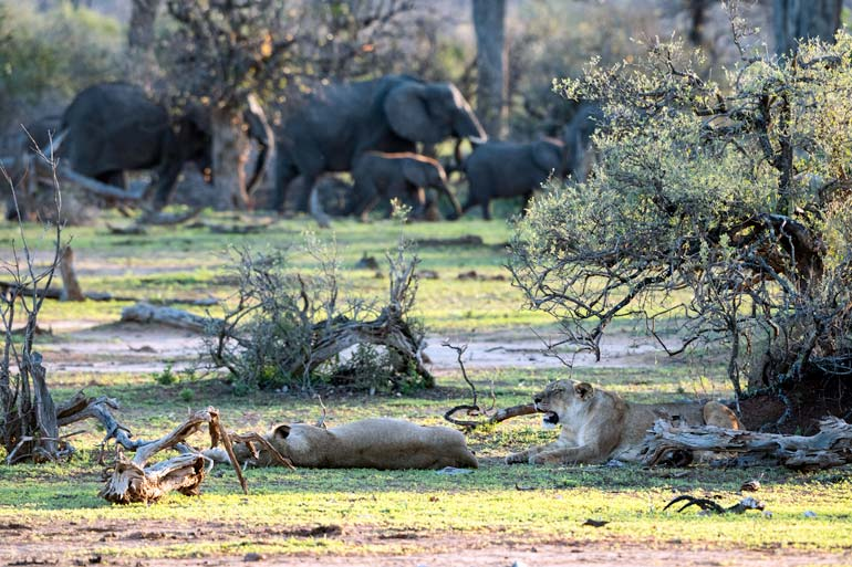 two Lioness-with-elephants-in-background