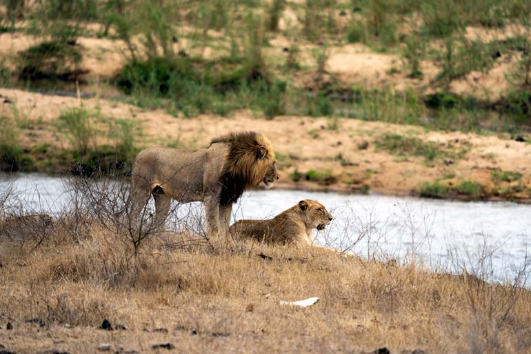 Lion and lioness beside river Lower Sabie