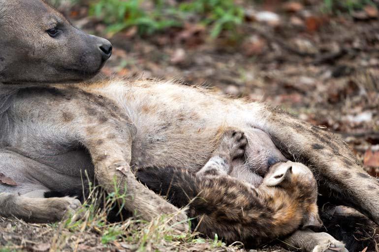 Suckling-Hyena- 2